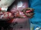 Скальпированая рана лапы